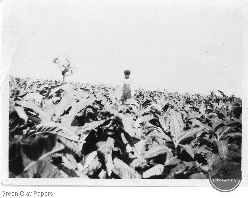 Tobacco field with unknown man