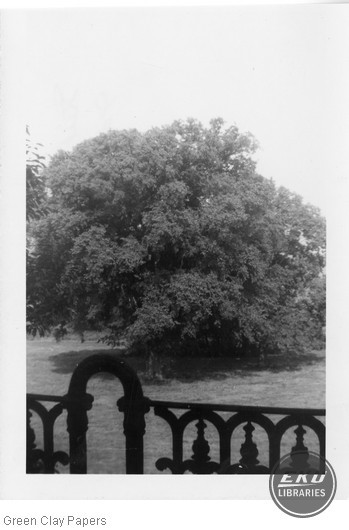 Tree on White Hall grounds