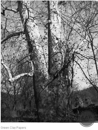 Giant Sycamore tree