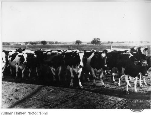 Holstein Cattle