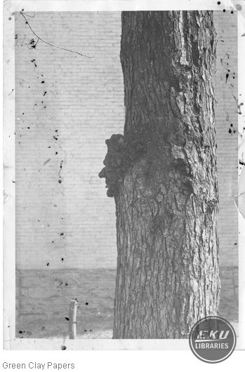 Tree with Lincoln profile, court house grounds, Richmond, Ky.