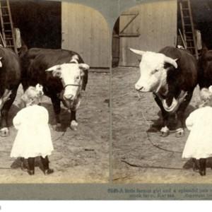 A Little Farmer Girl and a Splendid Pair of Herefords